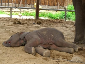 baby-elephant-sleeping-lamphun