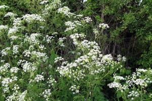 3. Cow parsley
